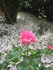 giardino botanico la Cutura (gianni.mello) Tags: giardinobotanico lacutura salento fiori rosa rose flower
