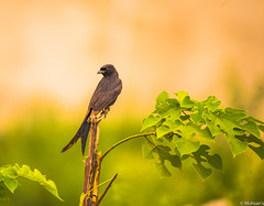 Black Drongo (Mohsan Raza Ali Baloch) Tags: birds nature tree leaves trees branch islamabad pakistan mohsan raza ali mohsans black drongo blackdrongo evening sunset environment green low light