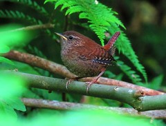 Wren 04-06-2017 003 (gallftree008) Tags: fungi fungus spider greenery green leaf flora florna nature naturesbeauties naturescreations irish irishwildlife wild bird birds insect tree trees underthetrees blue codublin county dublincity eire fingal jackopark knocksedan leaves thewardriver amazingnature