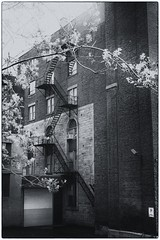 Urban scene (halifaxlight) Tags: canada quebec montreal vieuxmontreal urban downtown tree blossoms building fireescapes spring bw