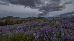 Lupine During Sunset Moon Rise (Jeffrey Sullivan) Tags: lupine mono basin wildflowers sunset full moon rise set landscape nature travel photography canon eos 6d photo copyright 2017 jeff sullivan june beltofvenus