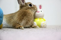 Ichigo san 746 (Ichigo Miyama) Tags: いちごさん。うさぎ ichigo san rabbit うさぎ netherlanddwarfbunny netherlanddwarf brown ネザーランドドワーフ ペット いちご