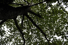 Plane tree, Parnitha mount (st.delis) Tags: πλάτανοσ φύλλωμα σπήλαιοπανόσ πάρνηθα αττική ελλάδα planetree foliage panascave parnitha attica hellas