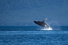 Alaska Humpback (robertdownie) Tags: trees forest sea water nature blue ocean isolated splash outdoors blower deep whale alaska humpback recreation breach no person usa united states america five finger islands