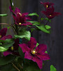 Climatis (msuner48) Tags: d750 acr5 cs4 flowers climatis colorful nikcollection nikonafs24120mmf4ged
