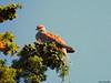 Turtle Dove (Corine Bliek) Tags: bird birds vogel vogels nature natuur wildlife duif duiven pigeon birding