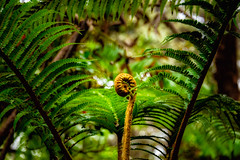 Tropical Fern (AdeRussell) Tags: kilauea ferns hawaii bigisland volcanonationalpark pāhoa unitedstates us