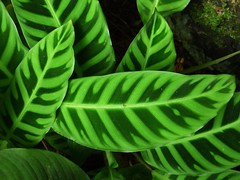 Zebra Plant (Aneonrib) Tags: hawaii hawaiian big island panasonic fz70 lumix outdoor color scene scenic hi state colors green tropical botanical garden old mamalahoa highway hwy 4 mile drive leaves foliage calathea zebrina zebra plant