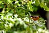 Greengage Thief (jayneboo) Tags: 365 bullfinch bird greengage tree garden home bokeh
