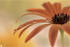 Eminence (Trayc99) Tags: petals flower drops droplets water reflections floralart floral flowerphotography macro macromondays hmm beautyinnature beautyinmacro beautiful orange capedaisy dripsdropsandsplashes