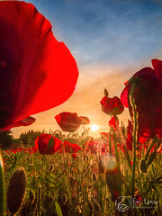 Coquelicots en soirée (Olympus Passion eric leroy) Tags: olympus em1 mk2 zuiko 714pro grand angle fleurs flowers provence istres champs soleil