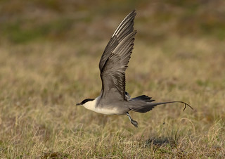 Long-tailed Jaeger in flight - Nome, AK