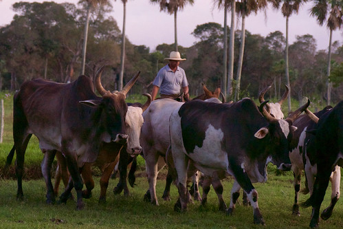 brazil-pantanal-caiman-lodge-cowboy-riding-with-cows-copyright-thomas-power-pura-aventura