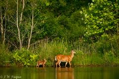 Mother and Child (jwfuqua-photography) Tags: wildlife nature pennsylvania jwfuquaphotography jerrywfuqua peacevalleynaturecenter buckscountyparks deer buckscounty