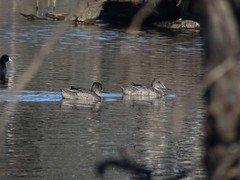 Freckled Ducks (RJNumbat) Tags: freckled ducks