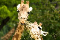Un peu pour moi (Thierry Poupon) Tags: giraffacamelopardalis zoodevincennes girafe herbe jalousie partage paris iledefrance france fr