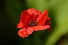DSC_7450 (sylvettet) Tags: coquelicot poppy flower red rouge nature fleur 2017 jardin