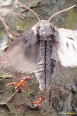 Pine hawk-moth attack III (Dom Greves) Tags: frenshamcommon heathland insect invertebrate june lepidoptera moth pinehawkmoth sphinxpinastri summer surrey uk wildlife woodland