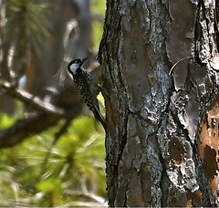 Red-cockaded Woodpecker at DuPuis Wildlife Management by Suzanne Zuckerman