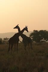 Long necks at sunset (Schagie) Tags: uganda giraffe giraffen murchison sunset nile nijl natuur nature wildlife