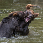 Young Bears Fighting thumbnail