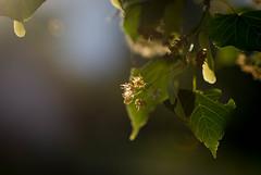 Linden Flowers (Captured Heart) Tags: lindenflowers lindentree leaves sunflare summertime
