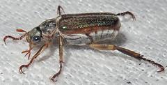 Scarab Beetle, Dichelonyx albicollis, Washington Crossing (Seth Ausubel) Tags: coleoptera melolonthinae scarabaeidae