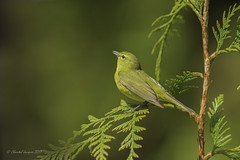 Pilgrimage to Tofino- Orange-crowned warbler singing (Chantal Jacques Photography) Tags: pilgrimagetotofino orangecrownedwarbler belting beltingasong wildandfree bokeh