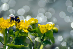 King of the Kingcups (- Man from the North -) Tags: bumbleebee kingcup marshmarigold flower plant bokeh bokehlicious nature finland ostrobothnia nikon d500 nikond500 tamron tamron90mmf28 insect naturallight reflections