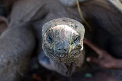 Tartaruga gigante di Aldabra (Alfonso Lucifredi) Tags: aldabra tartaruga gigante aldabrachelys gigantea oceano indiano animali tartarughe rettili