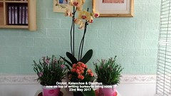 Orchid, Kalanchoe & Dianthus now on top of writing bureau in living room  23rd May 2017 001