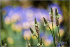Still Beautiful (BobGeilings.nl) Tags: background beautiful blue bobgeilings botany color colorfull cultivated end enviroment finished floral flower garden grass green landscape light nature old outdoor park pink season seed spring springtime way yellow