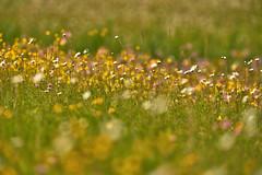 Flower Power XXL (W_von_S) Tags: flower blumen blossom blüten wiese meadow wild natur nature color colorful farben farbig bunt boke schärfentiefe poing ebersberg bavaria bayern sony wvons werner spring frühling impression outdoor mai may 2017 gras grass