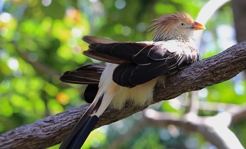 Guira Cuckoo