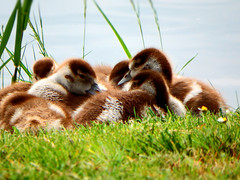 Goslings (STEHOUWER AND RECIO) Tags: goose goosling family birds waterbirds cute sweet lovely agressive egyptiangoose nijlgans alopochenaegyptiaca geese aquatic animal animals wildlife dutch nederland nederlands holland hollands river water grass pov gooseling spring newborn gosling goslings