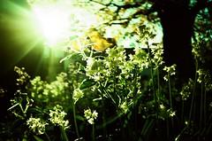 Wild Garlic of Wallingford (uncoolbob) Tags: canonsureshotm 35mm film agfactprecisa100 xpro intothelight intothesun bluebells churchyard wildflowers