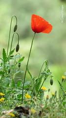Papoula (✿ Graça Vargas ✿) Tags: papoula poppy red flower graçavargas ©2017graçavargasallrightsreserved papaverorientale papouladooriente 14003310517 athens greece