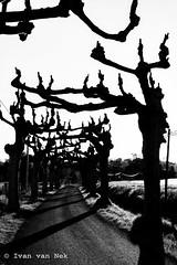 Scary Monsters (Ivan van Nek) Tags: d17e lisleendodon midipyrénées occitanie nikond7200 nikon d7200 france frankreich frankrijk hautegaronne 32 blackandwhite bw noiretblanc zwartwit monochrome seculan plataan platanen plane platane platanus