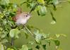 _53F7148 House Wren (~ Michaela Sagatova ~) Tags: birdphotography canonphotography housewren michaelasagatova wren