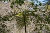 Fern tree (Infomastern) Tags: portugal quintadaregaleira sintra ferntree