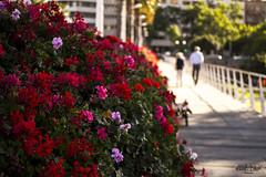 132-365 (Eggest) Tags: rosas roses flowers flores bridge puente valencia