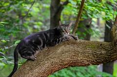 Messing around with the new lens (caroline_wburg) Tags: nikond3400 tabby greeneyes treeclimbing cat