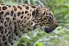 Amur leopard - Amurleopard (Wildfaces_No.1) Tags: leopard elegant raubkatze katze groskatze fleischfresser raubtier southeasternrussia northeastchina cat bigcat beauty predator criticallyendangered gefährdet fur spottedfur geflecktesfell