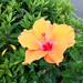 #2359 yellow Chinese hibiscus (ブッソウゲ)