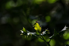 On Point (Shastajak) Tags: fly holly prickles bokeh leaves light shadows