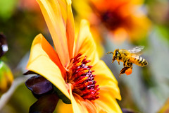 DSC_3468 (crackerpacks44) Tags: palosverdespeninsula california unitedstates us bees south coast botanic garden