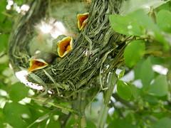 THREE HUNGRY MOUTHS (Rob Patzke) Tags: robin nest bokeh macro green perspective lumix lx100