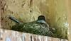 Eastern Phoebe on the Nest (praja38) Tags: songbird flycatcher easternphoebe nest animal bird capricorn humour life god vishnu canadian ontario wildlife nature cardenalvar kirkfield