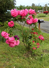 Two-Layer Rhody (Mïk) Tags: rhododendron rhodies mikeyworld myneighborhood flowers blooms blossums plants
