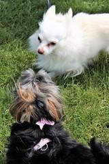 Flo Yorkie Poo Dog in Park Cutts Close Oakham Rutland (@oakhamuk) Tags: flo yorkiepoo dog park cuttsclose oakham rutland